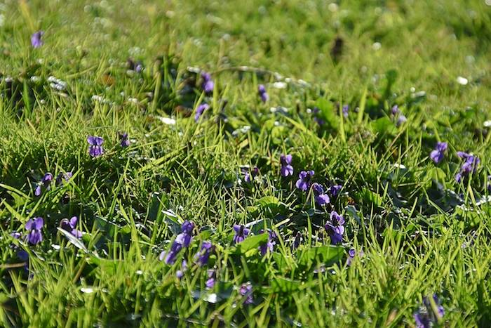 Violets in the grass, meeting in nature